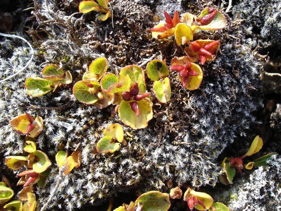Pictures Of Greenlandic Wildflowers